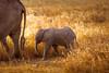 An intimate Love ... (Beppe Rijs) Tags: africa afrika baby elefant serengeti tansania tanzania child elephant animal love mother sun sundown drive