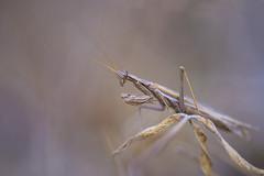 Ameles decolor (bertolinijacques) Tags: macro proxy insectes mantes améles décolor france cévennes ardéche stpaullejeune
