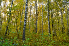 Forest dressed in lemon tones (МирославСтаменов) Tags: russia moscowregion pushchino birch forest undergrowth lime trunk autumn october