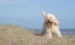 Boing! (Chickpeasrule) Tags: evie dog goldendoodle sea sky seaside sand dunes bouncing boing