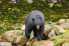 _30A1394 (Confusion_Circle) Tags: black creek bear hatchery salmon thornton ucluelet