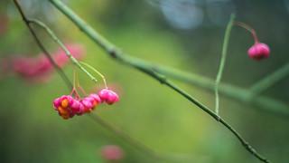 Spindleberries