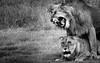 Sunny side Up (Beppe Rijs) Tags: africa afrika löwe paarung serengeti tansania tanzania lion mating fels rock landschaft panorama clouds landscape light view nationalpark np park steppe wildlife animal bigcat tierwelt tiere grosskatze wildkatze bigfive raubtier raubkatze kopje chill ruhen entspannen wildcat reserve habit typical typisch rückzugsort reservat habitat lebensraum nature natur wildnis wild tier blackandwhite bw sw schwarzweiss schwarz weiss monochrome fineart photography king könig male aura magical majesty magisch majestätisch erscheinung wildlifeafrica couple paar seduction verführung art kunst