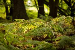 Ferns (Future-Echoes) Tags: 4star 2017 autumn bokeh bracken dof ferns fronds green light nature shade sparkeywood wickhambishops