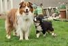 Puppy Echo with Jax, feeling nostalgic (sturner404) Tags: jax echo puppy aussie australianshepherd dogs redtricolor blacktri black tricolor