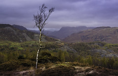 Lonesome Tree (pedalpusher139) Tags: tree mountains lakedistrict woodland landscape cumbria uk