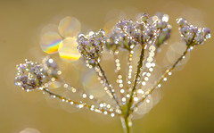 The dream (lkiraly72) Tags: dream dreamy shining glittering wildflower nature macro droplet waterdroplet dew dewy bokeh fresh morning colorful happy autumn