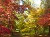 Autumn afternoon (vietnamvera) Tags: westonbirtarboretum autumncolour autumn autumnleaves trees acers acerleaves