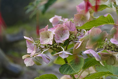 Just Because I Like It (Alfred Grupstra) Tags: nature plant leaf flower pinkcolor petal summer closeup beautyinnature flowerhead blossom freshness outdoors botany greencolor tree springtime branch season backgrounds hydrangea