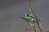 Blue Tit / Pimpelmees (Cyanistes caeruleus) (Levina de Ruijter) Tags: bluetit canon1dmarkiv canonef300mmf4lisusm levinaderuijter thenetherlands amsterdam animals birds canon dieren home nederland pimpelmees thuis vogels kenko14xtc