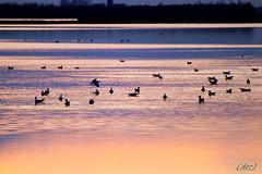 ___ è dolce la sera! ___ (erman_53fotoclik) Tags: fauna sera riflessi profili gabbiani acqua valli rosolina atmosfera pace uccelli imbrunire canon eos 500d erman53fotoclik