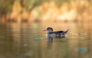 Juvenile Hooded Merganser on an inlet with fall colours coming in!