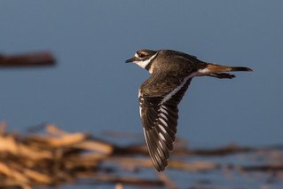 Flying Killdeer