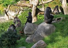 9883 Blijdorp Bokito met een deel van z'n familie (j@n2012) Tags: blijdorpzoo bokito gorilla anthropoidape mensaap