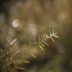Couleurs d'automne * (Titole) Tags: bokeh squareformat titole nicolefaton branch shallowdof