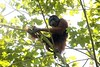 Indonesia Orangutan Rescue Photo Gallery (ciberpasquinero) Tags: tripa idn