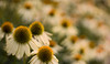 white coneflowers 7301 (DannyBurkPhotography) Tags: coneflower echinacea white zeiss bokeh 50mm planar ze focus soft blur sunset planar5014ze