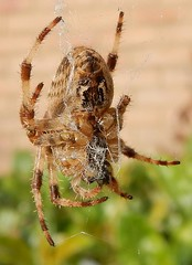 Garden spider - Araneus diadematus (John Steedman) Tags: crossspider spinne araignée araña gardenspider london uk unitedkingdom england イングランド 英格兰 greatbritain grandebretagne grossbritannien 大不列顛島 グレートブリテン島 英國 イギリス ロンドン 伦敦 araneusdiadematus walthamstow e17 spider