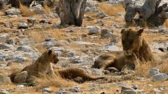 Familienidylle (marionkaminski) Tags: namibia afrika africa etoshanationalpark löwe lion leo animal animale animali dieren
