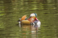 MANDARIN DUCK (_jypictures) Tags: photography pictures animalphotography animals animal canon7d canon canonphotography wildlife wildlifephotography nature naturephotography jyphotography jypictures birdphotography bird birds birdwatching birding birdingphotography birders duck madarin madarinduck
