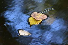 Changes (NaturalLight) Tags: autumn leaf cottonwood reflections chisholmcreekpark wichita kansas