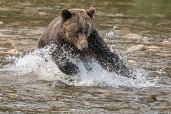 Paws for thought (Tim Melling) Tags: ursusarctos horribilis grizzly bear canada timmelling chum salmon catching nekite river