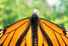 Burning Red Butterfly (Jeffrey Camphens) Tags: butterfly pet animal wings wing red black green bokeh detail macro closeup day nikon d3300 35mm extension tubes