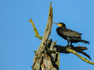 Resting cormorant.