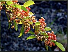 Ripening pyrocantha berries in the Forfar Garden (ronramstew) Tags: berries garden angus scotland ripening autumn forfar pyricantha