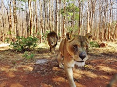 """Lions Bella and Simba • <a style=""""font-size:0.8em;"""" href=""""http://www.flickr.com/photos/152934089@N02/37566272526/"""" target=""""_blank"""">View on Flickr</a>"""