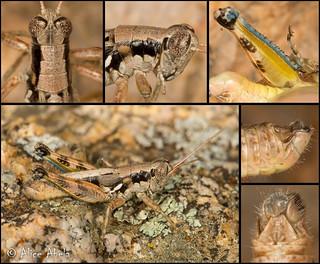 Arid Lands Spur-Throat Grasshopper (Melanoplus aridus)