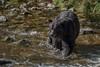 The big guy (Tracey Rennie) Tags: grizzly fishing chocolate knightinlet britishcolumbia wet