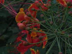 Garden Flower 4 (Sadot Arefin) Tags: unknownflower flower red shyamoli dhaka flora bangladesh canon canonpowershotsx50hs tistheseason