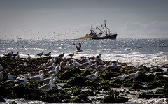 followed (bernd obervossbeck) Tags: holland nordholland fischerboot fishingboat hooker vögel vogel bird möwe möwen seagull seagulls wasser water sea ocean meer oean nordsee northernsea felsen wellen waves fishing landscape landschaft fujixt1 xf55200mmf3548