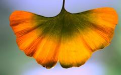 Ginkgo biloba leaf, fall(ing) (HansHolt) Tags: ginkgobiloba ginkgo maidenhairtree china leaf falling nearly blad vein nerf nerven autumn fall herfst backlight backlit tegenlicht sky macro bokeh dof canon 6d 100mm canoneos6d canonef100mmf28macrousm