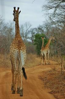 African traffic jam - Thornybush, South Africa