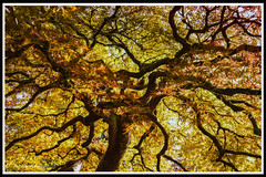 portland bonzai tree fall (bryanasmar) Tags: portland oregon japanese garden fall color tree mountain leica m246 m9 monochrome summicron summilux 50 14 2 titanium rx1 sony zeiss 352 ngc