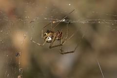 Arachtober 23 - #1 Linyphia triangularis (Common hammock weaver spider) (Anne Richardson) Tags: nature wildlife macro macrophotography spider sigma150mm arachnid arachtober brownseaisland sheetweb dorset linyphia arne hammockspider