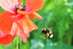 Buzz Buzz Buzz! I wonder why he does? (stellagrimsdale) Tags: bee poppy red green flight wings pollen inflight bumblebee bokeh flower pollenation stamen petals nature insect 7dwf