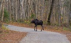 Orignal / Moose (Pierre Lemieux) Tags: québec canada ca moose orignal élandamérique parcnationaldelajacquescartier valléedelajacquescartier fall automne autumn mâle male panache