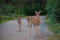 Mommy & Twins (dite921) Tags: bearheadlake ely greatoutdoors minnesota upnorth vacation camping summer animal mammal deer deers babydeer twins deerfamily animalfamily animals woods trees road