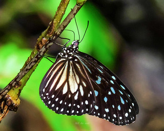 Ideopsis juventa (Wood Nymph, Gray Glassy Tiger or Grey Glassy Tiger) (B00002, ID0002)