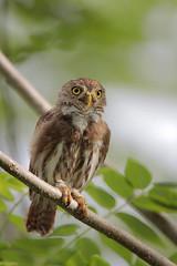 Ferruginous Pygmy-Owl (Greg Lavaty Photography) Tags: ferruginouspygmyowl glaucidiumbrasilianum costarica october guanacaste tropical tropics neotropical photographytour birdphotography outdoors bird nature wildlife