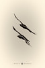 RM-2017.10.14-1353 (markus.rohrbach) Tags: natur tier vogel rabenvogel thema fotografie schwarzweis