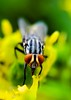 Que olhos grandes você tem (Paulo Mattes) Tags: flowers flower fly flor flickr flores galaxys8 samsung closeup close macro mosca mosquito mobile natgeo naturelovers natureza nature inseto instagram insects insect insetos