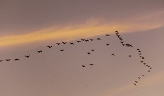 Autumn Skyline (curiouscameras) Tags: 7dwf 70mm clouds canadiangeese canadian geese sunset
