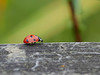 """""""Anyone Seen Any Aphids??"""" (Oldt1mer - Keith) Tags: macro insect ladybird ladybug ladybeetle coccinellaseptempunctata red spots sevenspotted seven head legs detail lady beetle black"""
