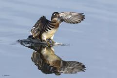 Wood Duck / Canard branchu (shimmer5641) Tags: aixsponsa woodduck canardbranchu carolinaduck duck northamericanwaterfowl birdsofbritishcolumbia birdsofnorthamerica