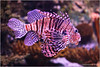 Lionfish (seeneasy) Tags: seeneasy canon canon5dmarkii canonef70200f4l lisbona lisbon lisboa portugal portogallo oceanáriodelisboa lionfish pescetropicale acquario tigrato aculei pteroisvolitans pescescorpione mare oceano natura nature fish