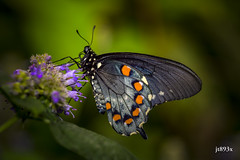 Pipevine Swallowtail (jt893x) Tags: 105mm afsvrmicronikkor105mmf28gifed battusphilenor butterfly d810 insect jt893x macro nikon pipevineswallowtail swallowtail